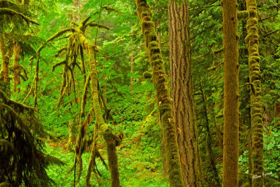040-bc-rainforest-allanforest-22