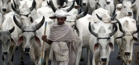 The disciple who got the task to look after 1000 cows