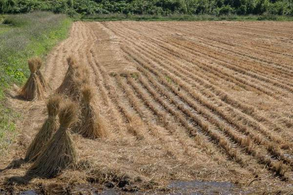Cut Rice Field with Bales