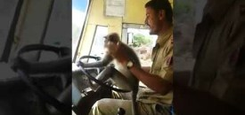 Monkey may have a promising career in Indian transport