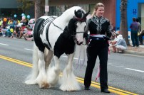 Highway Star, a champion Gypsy Horse from Fiesta Farms