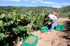 Valdeorras abre a vendima en Galicia