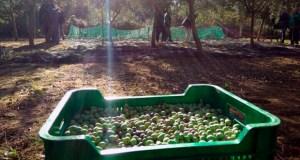 """O aceite 100% galego e de calidade """"premium"""" faise en Ourense"""
