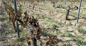 Xornada informativa sobre seguros agrarios para viñedo, o 14 de novembro na Rúa
