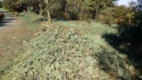 Sober elimina mimosas en tres áreas de Rede Natura no municipio
