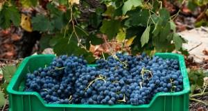 A D.O. Ribeira Sacra finaliza a vendima con 6.170.995 quilos de uva recollidos