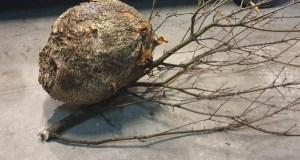 O GES Valdeorras retira en Pumares o niño de velutina máis grande atopado ata agora en Valdeorras