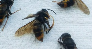Os apicultores vianeses, preocupados pola presenza da velutina na zona