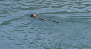 """A """"nutria"""", nas augas do Sil ao seu paso polo Barco"""