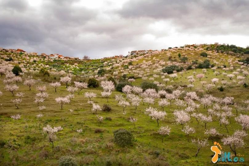 amendoeiras em flor-1-6