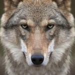 Домашний волк — это не собака
