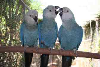 In-Your-Flock-Spix-Macaw
