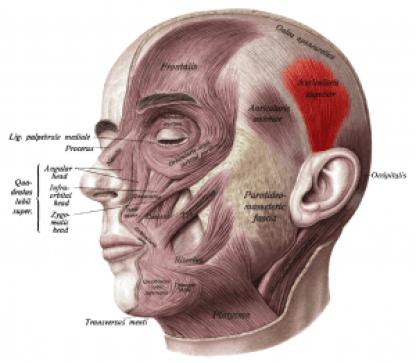 Sobo_1909_260_-_Superior_auricular_muscle