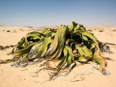 Welwitschia-mirabilis2