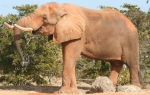 african_elephant_miami_metrozoo_february_2009_2_-63746