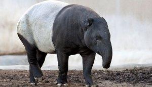 malayan_tapir_03