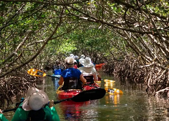 Kayakers in mangrove tunnels at weedon island park.