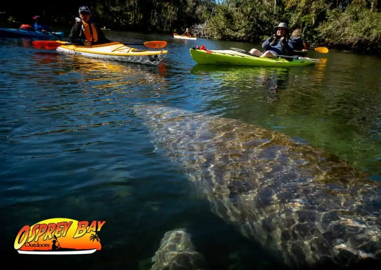 Manatees on the Chassahowitzka River Paddling trip