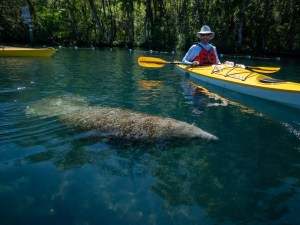 Micheal kayaking with a manatee
