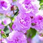 500 مليون وردة طائفية في موسم الجمال والربيع