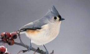 Country Ecology: The Tufted Titmouse