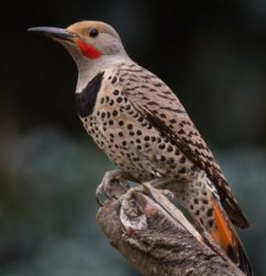 Country Ecology: The Northern Flicker