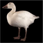 Country Ecology: The Snow Goose