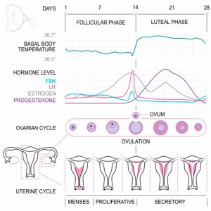 ciclo ovario e ciclo mestruale