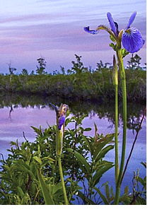 Iris photo