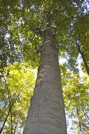 A mature Beech tree