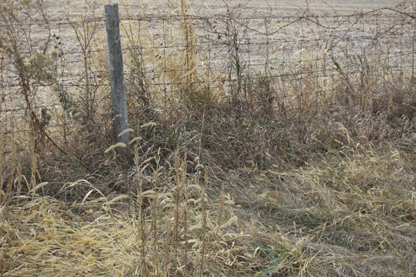 Fence line growth pattern of grasses