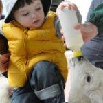 Park Hall Lamb Feeding