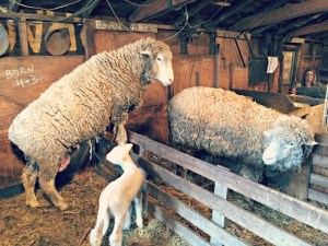 Family Fun on Enjoy Pioneer Farm in Hampshire, Illinois. Hold a baby lamb and other farm animals. You can even rent a baby chick or duckling!