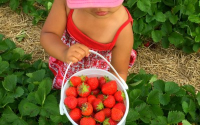 2020 Our Favorite Places to Go Strawberry Picking Near Chicagoland