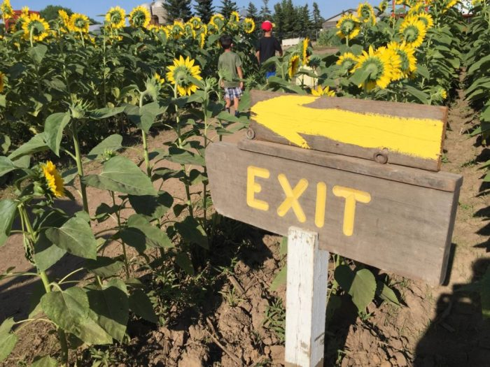 All about the amazing sunflower maze at Von Bergen's Country Market in Hebron, Illinois as well as where else to find sunflowers in the Midwest.