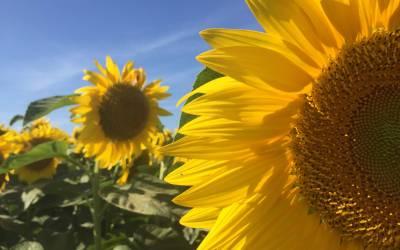 The Amazing Sunflower Maze at Von Bergen's Country Market in Hebron