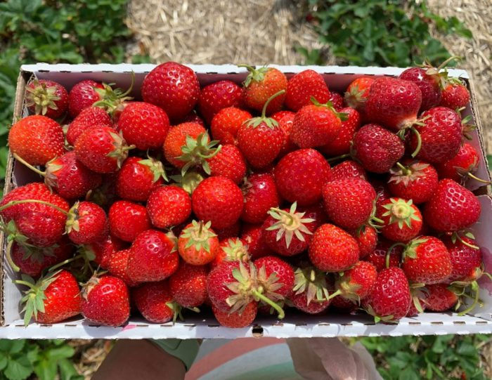Read all about our family friendly strawberry picking experience at Tom's Farm Market in Huntley, Illinois including what food to eat!