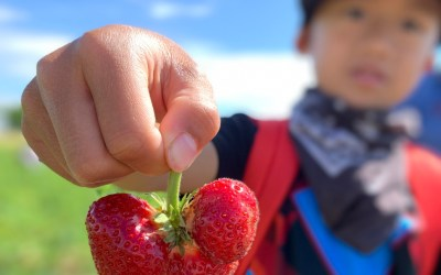 Our Favorite Spots To Go Strawberry Picking near Chicago in 2021
