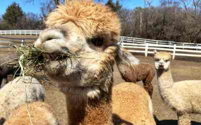 Meet and Feed Alpacas at SafeHouse Farm Alpacas in Barrington