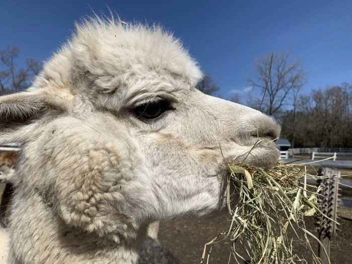 Go on a private tour at SafeHouse Farm Alpacas where you can meet alpacas and then feed them. Meet and feed other animals (some rescues) too!