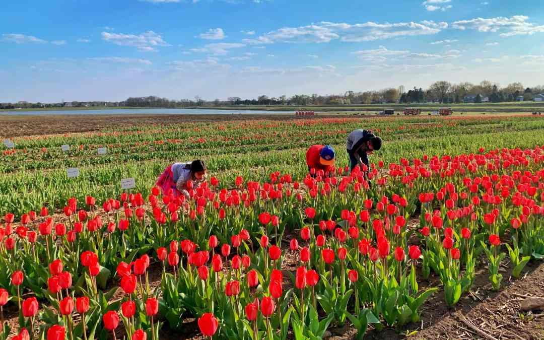 Beauty Blooms at Richardson Farm's Tulip Festival + Tips To Enjoy Your Visit