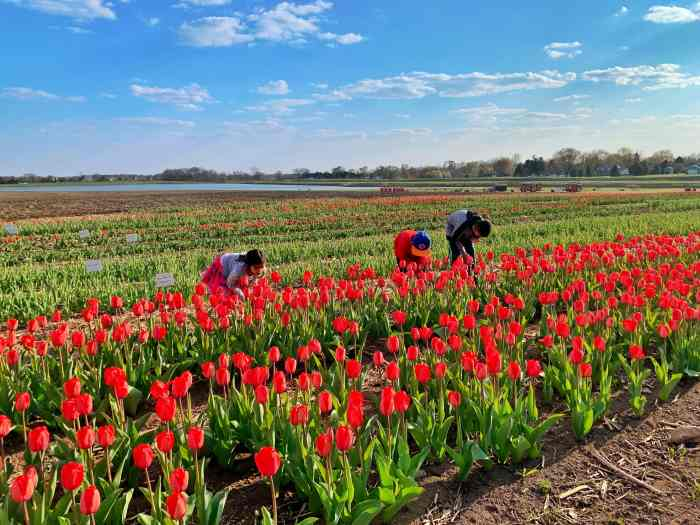 Make memories at Richardson Farm's Tulip Festival with 300,000 blooming tulips as well as fun photo ops and lawn games. Read for tips too.