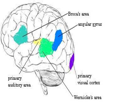 wernicke research papers Damage to the temporal lobe of the brain may result in wernicke's aphasia (see figure), the most common type of fluent  what research is being done for aphasia.