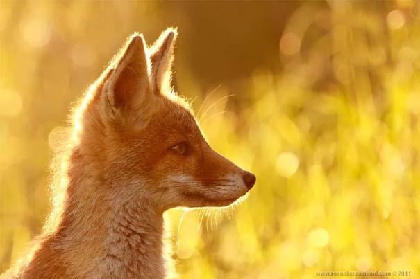 Σπάνιες και υπέροχες φωτογραφίες της Κόκκινης Αλεπούς (1)