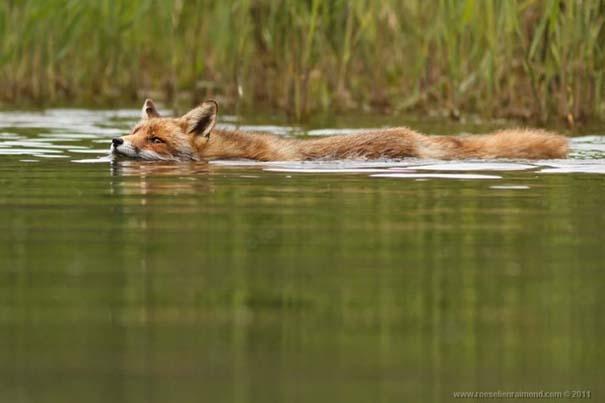Σπάνιες και υπέροχες φωτογραφίες της Κόκκινης Αλεπούς (12)