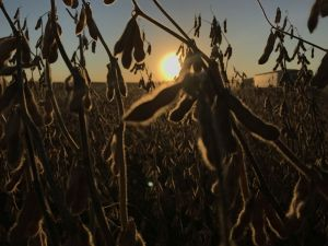 dark-soybeans-sunset