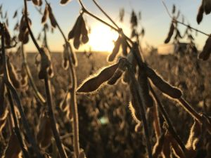 soybean-sunlight-fringe