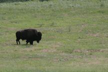 south dakota buffalo2