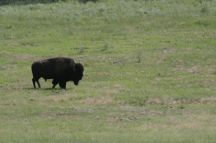 south dakota buffalo2