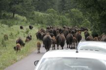 south dakota buffalo6